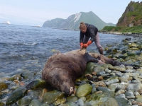 Melissa Good with UAF Alaska Sea Grant collects a sample from a Steller's sea lion carcass.